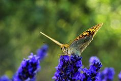 Butterfly on lavender flowers 2 royalty free stock photography