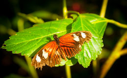 Butterfly orange wings with white blotches Royalty Free Stock Photography