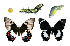 Butterfly, Orchard Swallowtail, life-cycle stag. Butterfly, Orchard Swallowtail, Papilio Aegeus, life-cycle stages showing male and female butterfly stock photos
