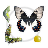 Butterfly, Orchard Swallowtail, lifecycle stag Royalty Free Stock Photo