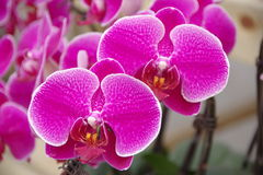 Free Butterfly Orchid Royalty Free Stock Photo - 85547155