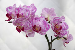 Free Butterfly Orchid Royalty Free Stock Image - 85963966