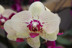 Free Butterfly Orchid Royalty Free Stock Photo - 85964135