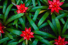 Butterfly orchid. A beautiful green leaves red flowers Stock Photos