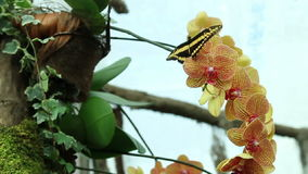 Butterfly on orchid stock footage