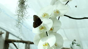 Butterfly on orchid. Blue butterfly on a beautiful orchid's white blossom stock video