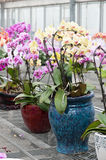 Butterfly orchid bonsai Stock Image