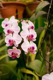 Butterfly orchid. In botanic garden Stock Photos