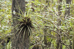 Butterfly Orchid On Cypress Tree. Located at Six Mile Cypress Slough Preserve, Fort Myers - FL, USA Stock Photo