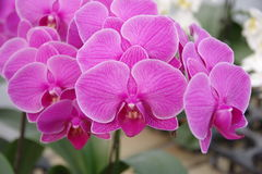 Butterfly Orchid Stock Images