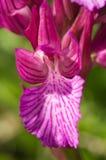 Butterfly orchid flower detail - Anacamptis papilionacea Stock Photos