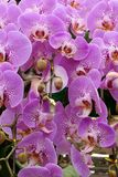 Butterfly orchid. Flowers in the garden royalty free stock photos