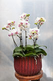 Butterfly orchid potted plants Stock Image