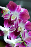 Butterfly orchid. Purple butterfly orchid flower, shown as color, pattern and background Stock Images