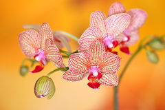 Butterfly orchids Royalty Free Stock Photography