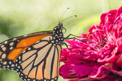 Butterfly of the order Lepidoptera Stock Photography