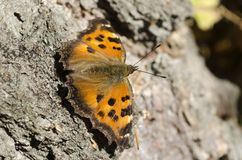 Butterfly ordinary urticaria sits on a birch Stock Images
