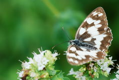 Butterfly on oregano flowers Royalty Free Stock Photography