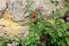 Butterfly on oregano Royalty Free Stock Image