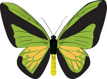 Butterfly ornithoptera goliath. The drawn butterfly ornithoptera goliath Royalty Free Stock Photo