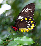 Butterfly - Ornithoptera priamus Stock Image