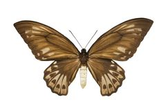 Butterfly Ornithoptera priamus urvilleanus f Royalty Free Stock Photo
