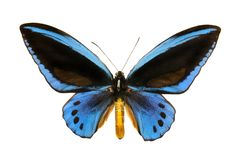 Butterfly Ornithoptera priamus urvilleanus m royalty free stock image