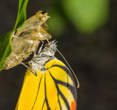 Butterfly. Out of the cocoon stock photos