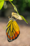 Butterfly. Out of the cocoon royalty free stock images