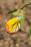 Butterfly. Out of the cocoon stock photo