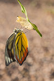 Butterfly. Out of the cocoon stock image