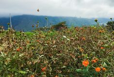 Butterfly over a field of orange flowers. Organic Farm in Ecuador, meadow royalty free stock images