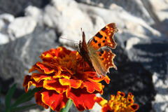 Butterfly over the flower. Butterfly Nymphalis urticae over the flower Royalty Free Stock Image