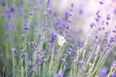 Butterfly over lavender flowers. Close-up of flower field background. Design template for lifestyle illustration royalty free stock photo