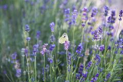 Butterfly over lavender flowers. royalty free stock photos