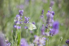 Butterfly over lavender flowers. Close-up of flower field background. Design template for lifestyle illustration royalty free stock image