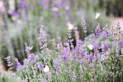 Butterfly over lavender flowers. stock photo