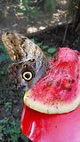 Butterfly owl eating watermelon. Stock Photography