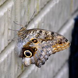 Butterfly. Owl butterfly perched on a wall Stock Photos