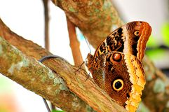 Butterfly, Owl (underside) Stock Images