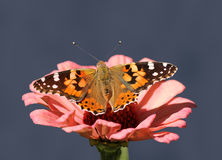 Butterfly Painted Lady Stock Photography