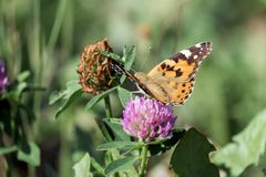 Butterfly Painted lady collects nectar from a clover flower. Vanessa cardui royalty free stock images