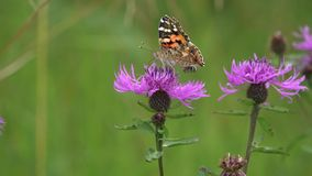 The butterfly Painted Lady or Cosmopolitan /Vanessa cardui/ is on the brown knapweed flower, then it is banished by a small bee /p. Resumably Osmia stock footage