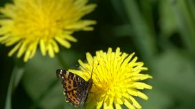 Butterfly Painted Lady or Cosmopolitan /Vanessa cardui/  on the dandelion flower.  stock footage