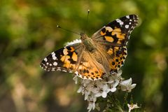 Butterfly painted lady on gooseneck loosestrife. Butterfly painted lady drinking nectar from gooseneck loosestrife Royalty Free Stock Photography