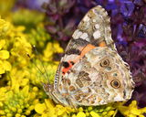 Butterfly - Painted Lady (Vanessa cardui) on flowers Royalty Free Stock Photography