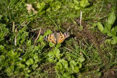 A butterfly,  the painted lady Vanessa cardui, sitting on the ground. A butterfly, the painted lady Vanessa cardui, sitting in the green grass. Natural summer royalty free stock photos