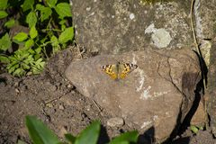 A butterfly,  the painted lady Vanessa cardui, sitting on a stone. A butterfly, the painted lady Vanessa cardui, sitting on a stone in a garden royalty free stock images