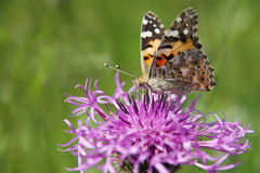 Butterfly - Painted Lady (Vanessa cardui) Royalty Free Stock Photos