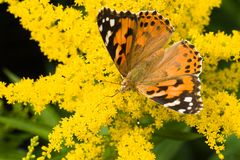 Butterfly Painted Lady on yellow solidago Stock Images